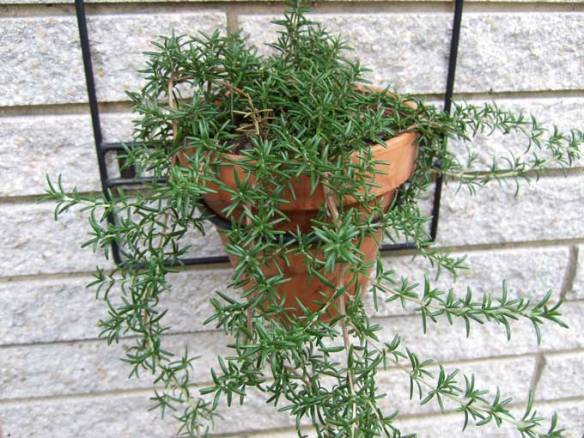 trailing-rosemary-plant